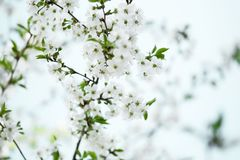 The light background of a blossoming Apple tree in spring royalty free stock photo