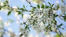 The light background of a blossoming Apple tree in spring stock video