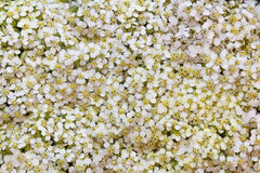 Light background from colours of a white yarrow. Light background from colours of white yarrow stock photo
