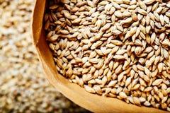 Light barley malt grains for beer production. Barley malt - Castel Malting of the type. stock photography