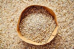 Light barley malt grains for beer production. Barley malt - Castel Malting of the type. Light barley malt grains for beer production. Barley malt - Castel royalty free stock photo
