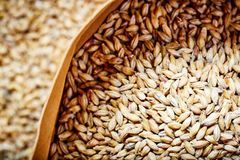 Light barley malt grains for beer production. Barley malt - Castel Malting of the type. Light barley malt grains for beer production. Barley malt - Castel royalty free stock image