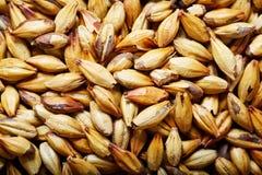 Light barley malt grains for beer production. Detaii stock photography