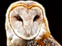 Light Barn Owl Royalty Free Stock Photography