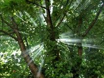 Light beam through the cherry tree. Takem in yard in Belgrade Royalty Free Stock Photography