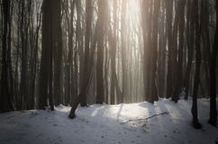 Light beam in cold forest with snow Stock Photography