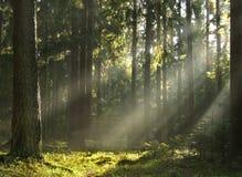 Light beams ib forest Stock Photos