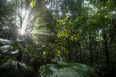 Light Beams and Rainforest. Late afternoon sunlight penetrates an Indonesian rainforest on the island of Sulawesi. This tropical region receives quite a bit of Stock Photos