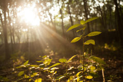Light beem in the forest. The morning light beem in the forest Royalty Free Stock Photo