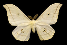 Light beige butterfly isolated on black Royalty Free Stock Images