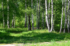 Light birch wood in a summer sunny day Royalty Free Stock Image