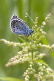 The light-blue butterfly. The butterfly on a sheet with a drop of dew Royalty Free Stock Photo