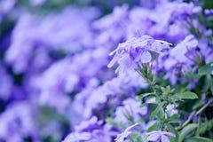 Light Blue Cape leadwort Royalty Free Stock Photo