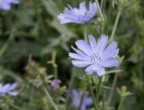 Light blue cichorium flower on the meadow Stock Image