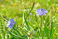 Light blue flower of chicory - in Latin Cichorium intybus - in green grass under sunlight Stock Photography