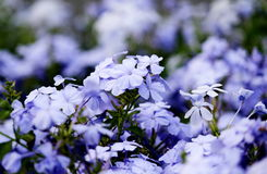 Light Blue Flowers. Light Blue blossoms, Light Purple blossoms Stock Image