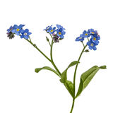 Light blue flowers of Forget-me-not (Myosotis arvensis), isolate Stock Images