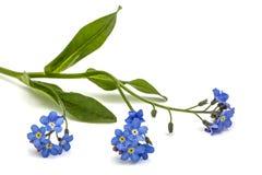 Light blue flowers of Forget-me-not (Myosotis arvensis), isolate Stock Photo