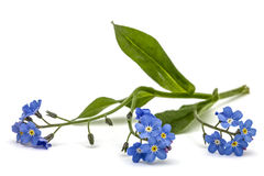 Light blue flowers of Forget-me-not (Myosotis arvensis), isolate Royalty Free Stock Images