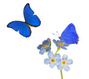 Light blue forget-me-not flowers and two butterflies on white royalty free stock photo