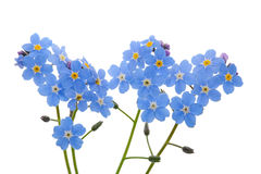 Light blue forget-me-nots Stock Photo