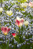 Light blue grape hyacinths, white and pink tulips Stock Photography