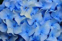 Light blue Hortensia flower petals Royalty Free Stock Photos