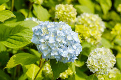 Light blue Hortensia Stock Photos