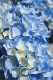 Light blue hydrangea flowers royalty free stock images