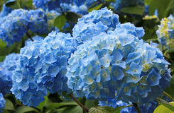 Light blue hydrangea flowers in the garden Stock Image