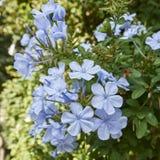 Light blue jasmine flowers bouquet closeup Royalty Free Stock Photo