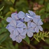 Light blue jasmine flowers natural bouquet Royalty Free Stock Photo