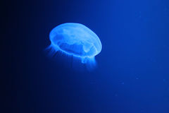 Light blue jellyfish Royalty Free Stock Images
