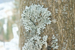 Light blue lichen growing on the bark of a tree royalty free stock photo