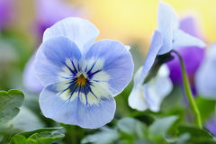 Light blue Pansy Stock Images