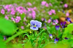 Light blue pansy in the garden Stock Photography
