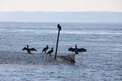 Silhouette of five cormorants sitting at the top of a rod and a flue. Light blue picture of some sea ravens sitting at a fishnet and the top of a rod in the royalty free stock photos