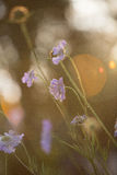 Light blue pincushion flowers Stock Image