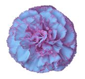 Light blue-pink  carnation flower on a white isolated background with clipping path. Closeup. For design. Royalty Free Stock Images