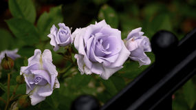 Lavender roses by iron fence Stock Photo
