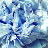 Light blue tinted peony petals. Beauty themed flower Royalty Free Stock Photography