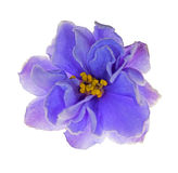 Light blue violet flower on white Royalty Free Stock Photo