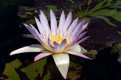 Light blue water lily. A light blue water lily blooming stock photos