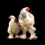 Light brahma rooster and hen Stock Images