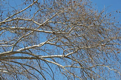 LIGHT BRANCHES OF PLANE TREE Royalty Free Stock Images