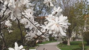 White magnolia blossom in the city park. Light breeze, sunny day, dynamic scene, 4k video. с. Light breeze, sunny day, dynamic scene, 4k video stock video