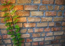 Light brick wall background with climbing plants Royalty Free Stock Images