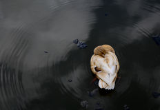 Light Brown Bantam Call Ducks Resting in the Pond Stock Photography