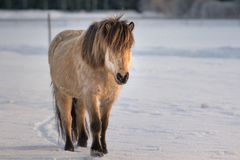Light brown and black Icelandic horse walking in the snow in win. Light brown and black Icelandic horse outdoors in the snow on a bright and sunny winter day Royalty Free Stock Image