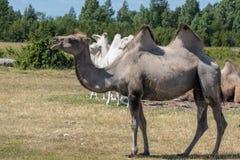 Brown camel walking in a field in summer sunshine. Light brown camel with large humps walking in a field in summer sunshine Royalty Free Stock Images